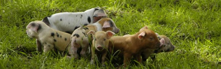 Agricultural Environmental & Domestic Products Piglet Health Pig